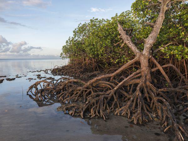 Mangrove, © FDPM, Malaysia